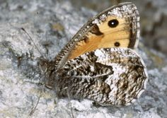 Hipparchia semele Grayling Photo Natural England Moth, Butterflies, Insects, England, Natural, Animals, Animales, Animaux, Butterfly