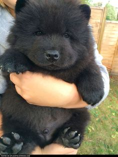Fluffy Chow Chow puppy Misiu is the cutest dog in the world!!! You can visit Misiu's facebook page for more cuteness