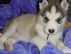 The giant alaskan malamute puppies decend from Alaska and have been used for many purposes such as sled dogs. Check out some information and pictures of the malamute. Giant Alaskan Malamute Puppies, Malamute Dog, Dog Breeds Pictures, Animal Pictures, Big Dog Breeds, Fuzzy Wuzzy, Snow Dogs, Big Dogs, Husky