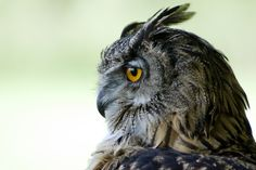 Eagle Owl, beautiful!
