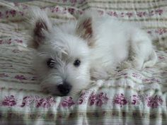 Westie - Daisy kind of looked like this when we got her.