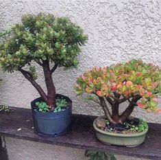 Jade Bonsai, Succulent Bonsai, Succulent Seeds, Bonsai Art, Bonsai Plants, Cacti And Succulents, Suculent Plants, Crassula Ovata, Jade Plants