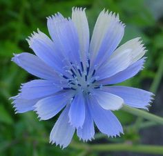 Chicory - Leaves can be eaten as fresh greens and the roots are roasted and ground to make a coffee substitute.