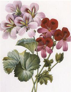 Geraniums- Pierre Joseph Redoute' from Choix des plus belles fleurs 1827
