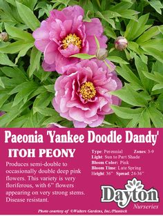 "Paeonia Itoh 'Yankee Doodle Dandy' - ITOH Peony - Produces semi-double to occasionally double deep pink flowers. This variety is very floriferous, with 6"" flowers appearing on very strong stems. Disease resistant."