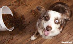 Complete Guide to Australian Shepherd Husky Mix Breed Dog Gluten Free Dog Food, Grain Free Dog Food, Best Diet For Dogs, Australian Shepherd Husky, Gastro, Oils For Dogs, Diy Dog Treats, Dog Diet, Dog Feeding