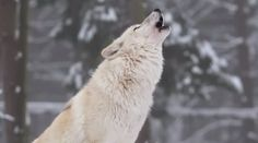 loups-action-rivieres-capture-01