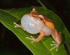"""Eleutherodactilus coqui, coqui xomun de Puerto Rico. Esta especie endemica de la isla es la que emite el clasico sonido """"coqui - coqui"""" que da pie a su nombre."""