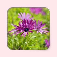 African Daisy Flower Sticker
