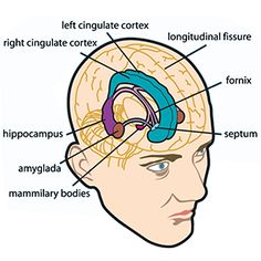 Limbic Brain Function | the limbic system or paleomammalian brain is a set of brain structures ...