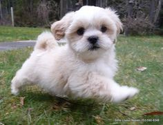 llaso apso puppies | ... and Champagne Colored Pure Bred Lhasa Apso Puppies Like Maltese. $500