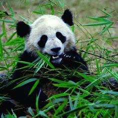 Giant #Panda! #China #visitchina #travel