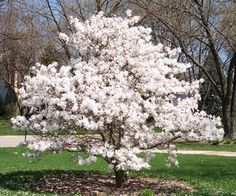 I would love to have a Star Magnolia Tree someday Ground Cover Plants, Garden Trees, Japanese Tree, Home Flowers, Beautiful Tree, Japanese Magnolia Tree, Deciduous Trees, Trees To Plant, Growing Tree