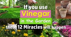 Vinegar has myriads of uses in the kitchen but it can also do miracles in the garden! Look at these 12 amazing vinegar uses in the garden to know more. - Gardening Take Organic Gardening, Gardening Tips, Indoor Gardening, Belive In, Vinegar Uses, Garden Pests, Lawn And Garden, Terrace Garden, Garden Web