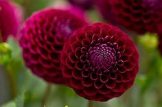 Dahlia 'Ivanetti' - Floral and botanical image library