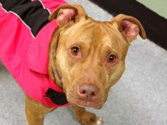 SAFE --- URGENT - Manhattan Center   JAZZ - A0986251   FEMALE, BROWN / WHITE, AM PIT BULL TER MIX, 3 yrs  STRAY - STRAY WAIT, NO HOLD  Reason ABANDON  Intake condition NONE Intake Date 11/30/2013, From NY 10469, DueOut Date 12/03/2013, I came in with Group/Litter #K13-161685. Original Thread:  https://www.facebook.com/photo.php?fbid=717977018215180&set=a.617938651552351.1073741868.152876678058553&type=3&theater