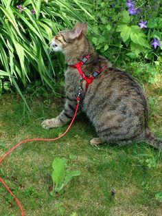 Ik mag nog niet los maar wilde zooo graag naar buiten. Dan maar met een tuigje...heerlijk in de tuin.