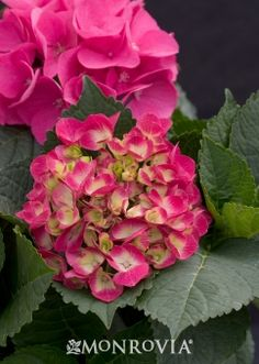 Cityline Paris Bigleaf Hydrangea  Growth habit 1'-3' wide & tall  With Paris in the name, I have to have it.