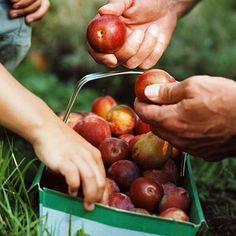 Här hittar du ett läckert recept på Plommon-marmelad. Botanisera bland massor med recept, tips och inspiration.