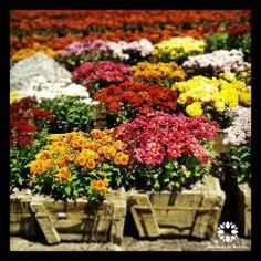 Crisantemos y cempasúchil en Jardines de México.  Morelos, México. #paisajismo #landscaping  #Turismo #Tourism #Naturaleza #Nature #JardinesDeMéxico.