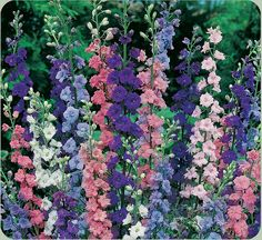 Rocket Larkspur   Delphinium ajacis (Ranunculaceae)    A winter annual, native to southern Europe, it has naturalized throughout the United States. Larkspurs are distinguished by a backward projecting spur, formed by the upper petal of the flower. Tightly compact blossoms are arranged on spikes in shades of pink, white, and deep blue. Prefers full sun to partial shade in very well-drained soils.
