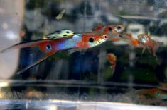 Item Fwguppies1440042198 Atfg S Moscow Fire Tail Htd Pair Ends Wed Aug 19 2015 10 43 18 Pm Cdt Guppy Fish Guppy Freshwater Aquarium Fish