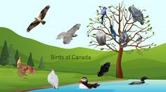 We've brought you Canada's provincial flowers and Canada's provincial trees. Now, we're taking a look at the country's provincial birds. Canadian Symbols, Canadian Animals, Weather Network, Music Do, Your Name, Trees, Canada, Birds, Science