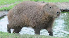 Capybara at Chessington World of Adventures