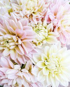 "577 Likes, 12 Comments - Jennie {Love 'n Fresh Flowers} (@lovenfreshflowers) on Instagram: ""Summer is winding down and the dahlias are winding up.  #farmerflorist #flowermagazine #dahlias"""