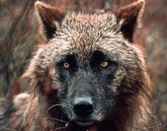 Wolf has one of the widest ranges of size, shape and color of any mammal in north America?