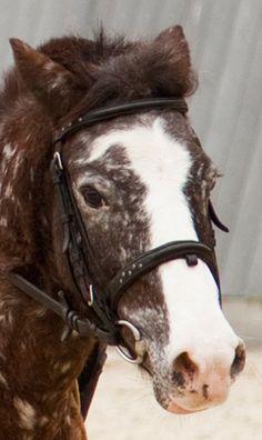 Derek jest kucem zrównoważonym i spokojnym. Nadaje się zarówno dla zupełnie początkujących dzieci na lonżę, jak również dla osób, których przygoda z końmi trwa już nieco dłużej i chcieliby spróbować swoich sił w skokach przez przeszkody.