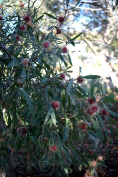 The distinctive Pin Cushion Flower of Hakea laurina - Mallee Design Australian Garden Design, Australian Native Garden, Australian Flowers, Gardening Photography, Natural Garden, Different Plants, Garden Plants, Flowers Garden, Gardening Vegetables