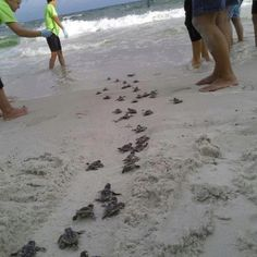 This is so sweet! Little baby turtles that are on their way to life and the humans who made sure they got on their way safely.
