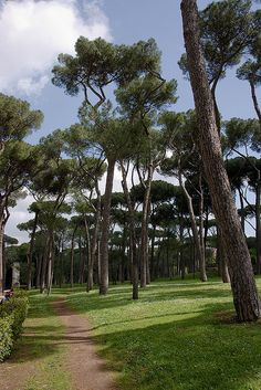 Pine trees at Villa Borghese, Rome Italy