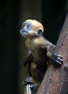 rancois's leaf monkey Photo by Photographer hans peters