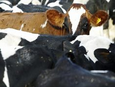 Pecuária brasileira é sustentável, diz GTPS - http://po.st/w3tGiD  #Setores - #Agro, #Carne, #Gado, #GTPS, #Sustentável