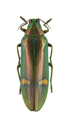 Chrysochroa hemixantha. Collection of the Royal Belgian Institute of Natural Sciences