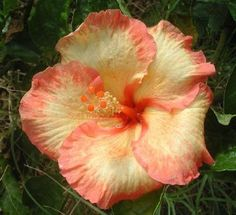 Rare Yellow Orange Peach Hibiscus Seeds Giant Dinner Plate Fresh Flower Garden Exotic Hardy Flowering Perennial  Tropical *354 355* by ToadstoolSeeds on Etsy