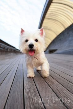 Toto Boy by furry-photosWestie West Highland White Terriers Dogs