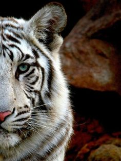 Bengal Tiger! love that my school's mascot is this beautiful creature!
