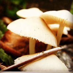 Grzybki :) #polesie #grzyby #makro #las #jesień #trujace #mushroom #forest #autumn #lubelskie #poland