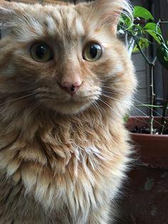He's a derp but he's our derp :) #aww #cute #cutecats #catsofpinterest #cuddle #fluffy #animals #pets #bestfriend #boopthesnoot