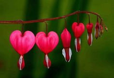 Bleeding hearts. One of my favorites
