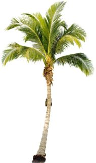 New coconut tree png Ideas Palm Tree Png, Palm Trees, Coconut Tree Drawing, Tree Render, Tree Psd, Tree Photoshop, Photoshop Rendering, Tree Clipart, Landscape Elements