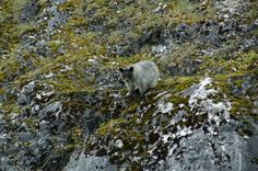 """Rare Glacier Bear sighted in Glacier Bay!  Last week tour vessel passengers on the Seabird and ranger Andrea were thrilled at the sighting of a """"glacier bear."""" This is a grey color form of the black bear found only in the St. Elias and Fairweather Mountain ranges. These elusive animals are only sighted a couple of times each summer."""