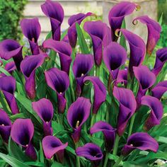 Calla Lily now available. And, the  purple, trumpet-sha...
