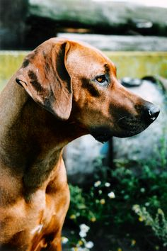 Rhodesian Ridgeback.  My very first dog was a Rhodesian. He was the best dog I have ever had.