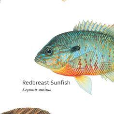 Freshwater gamefish of north america poster products for North american freshwater fish