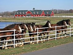 See Baby Clydesdales! Warm Springs Ranch, new Budweiser Clydesdale breeding farm now open for guided group tours. Warm Springs Ranch, Clydesdale Horses, Big Horses, Stark Sein, Draft Horses, Horse Farms, Beautiful Horses, Beautiful Flowers, The Ranch