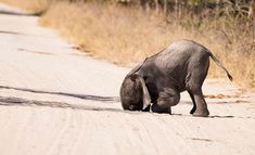 A baby elephant falls in the sand inside Hwange National Park, Zimbabwe. Photo by Markus Pavlowskys/The Comedy Wildlife Photography Awards. Comedy Wildlife Photography, Photography Awards, Animal Photography, Themed Photography, Photography Contests, Wild Life, Animals And Pets, Funny Animals, Cute Animals